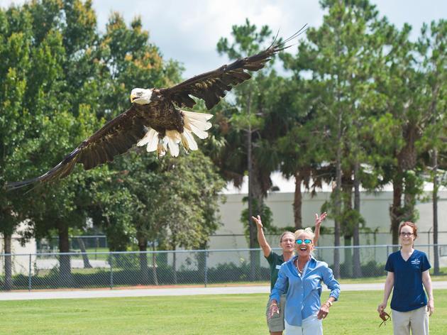 Freedom Flies: 600th Bald Eagle Makes Majestic Return to Florida Skies
