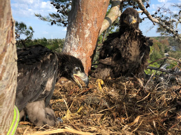 Audubon Works with Florida State Parks to Rescue Injured Bald Eagle Chick