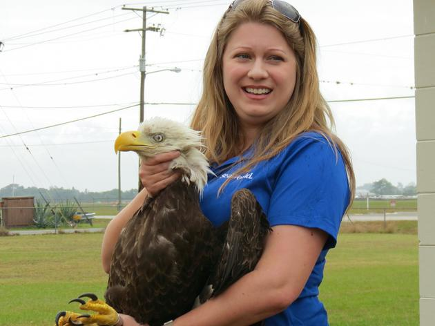 Audubon releases the 613th Bald Eagle back into the wild