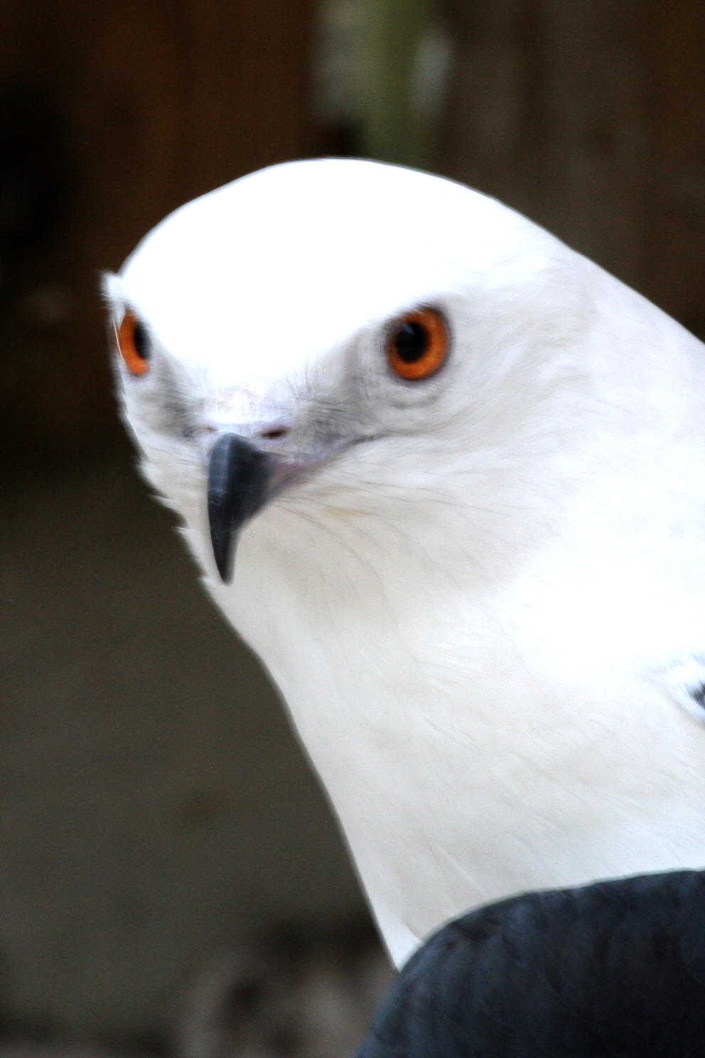 Photo of Swallow-tailed Kite