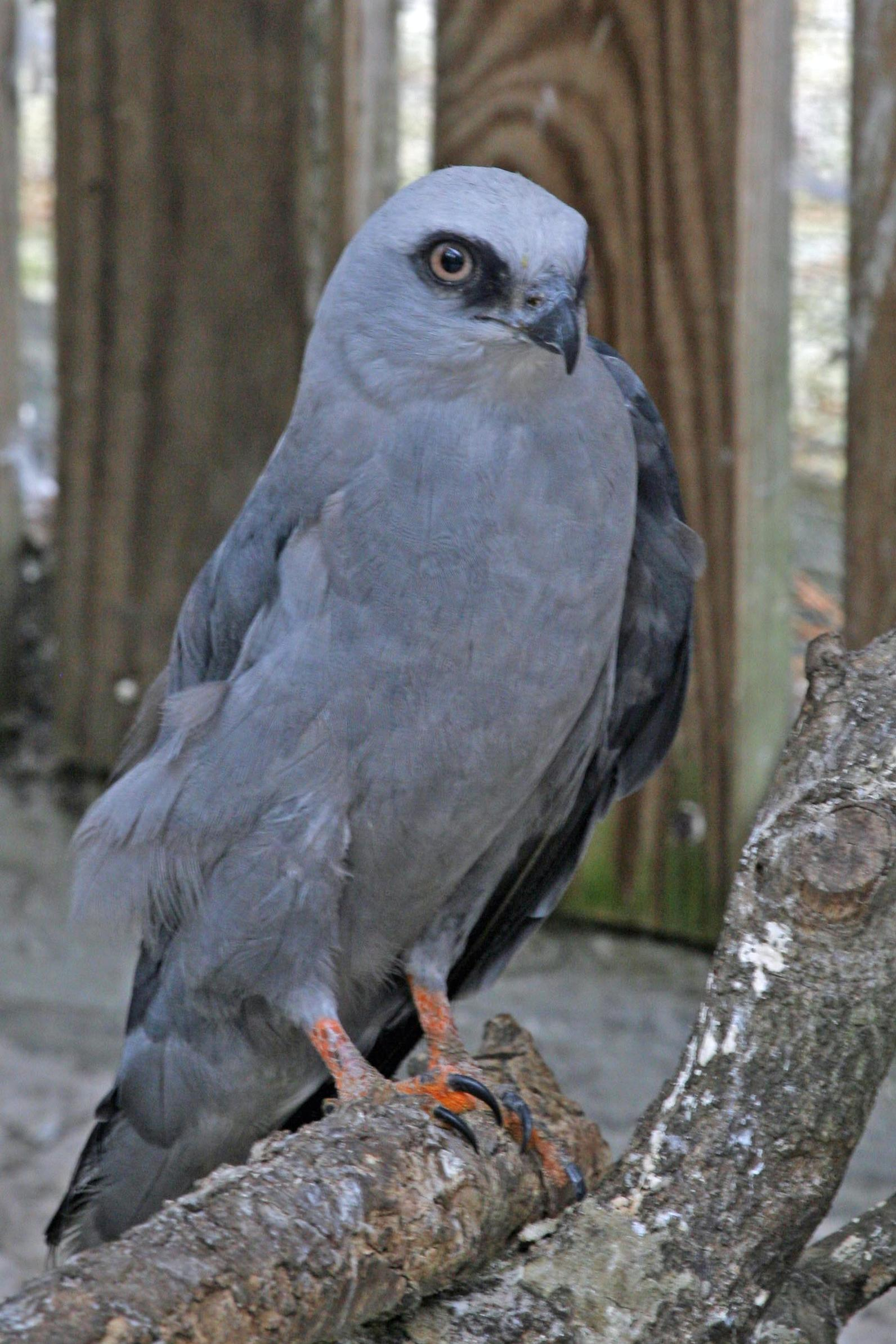 Photo of Mississippi Kite
