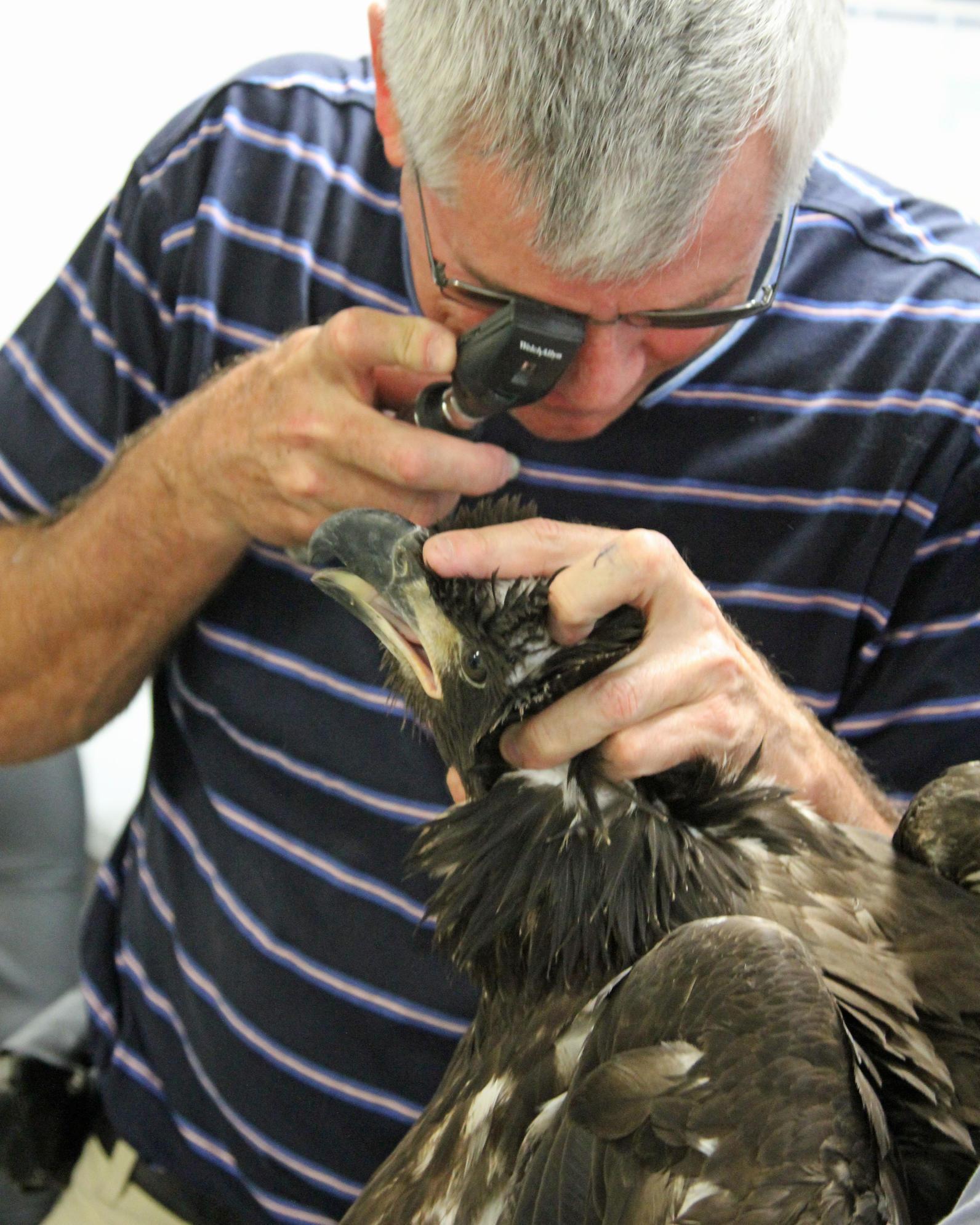 Photo of Dr. Hess examining Bald Eagle