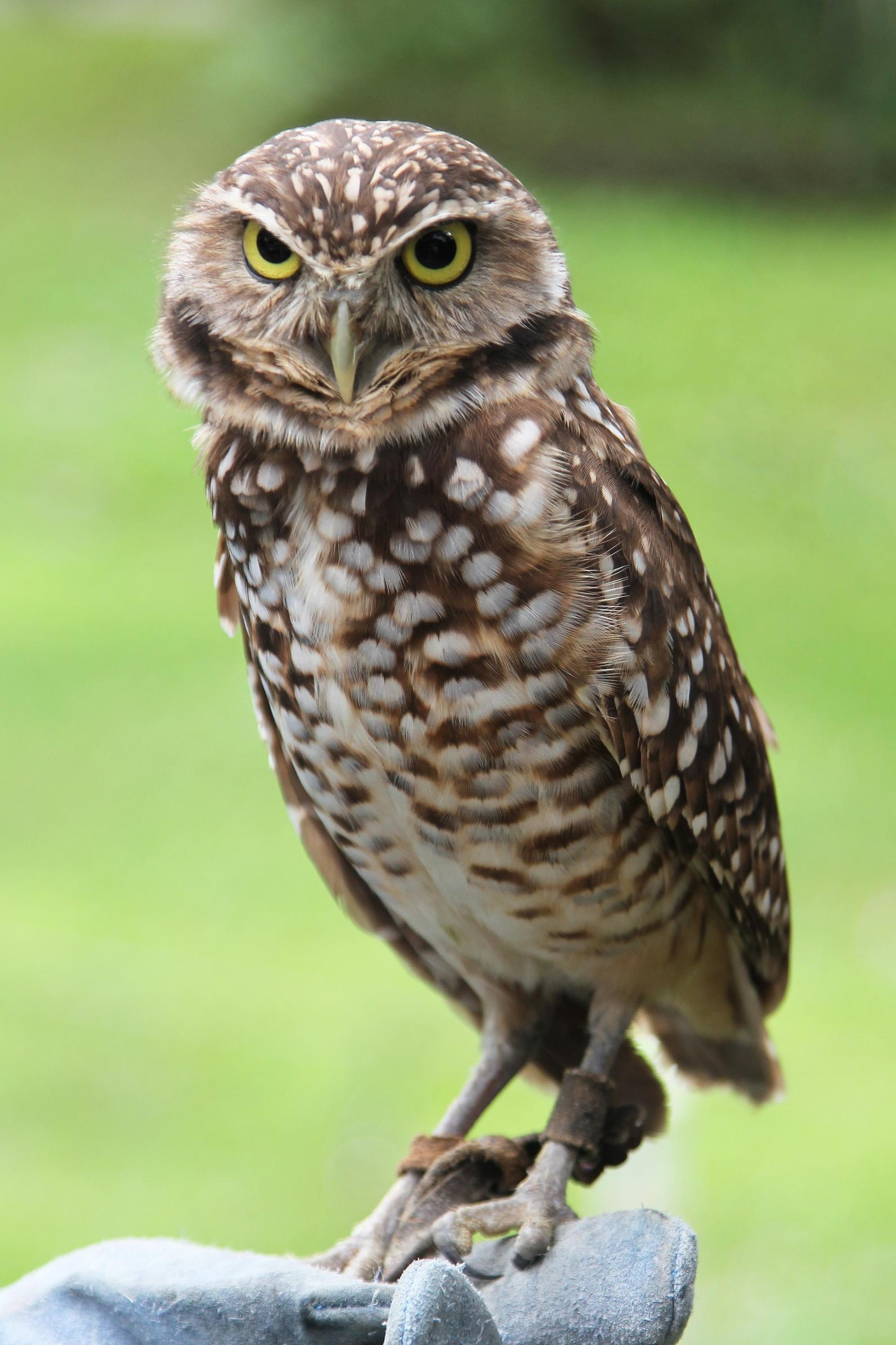 Photo of Burrowing Owl