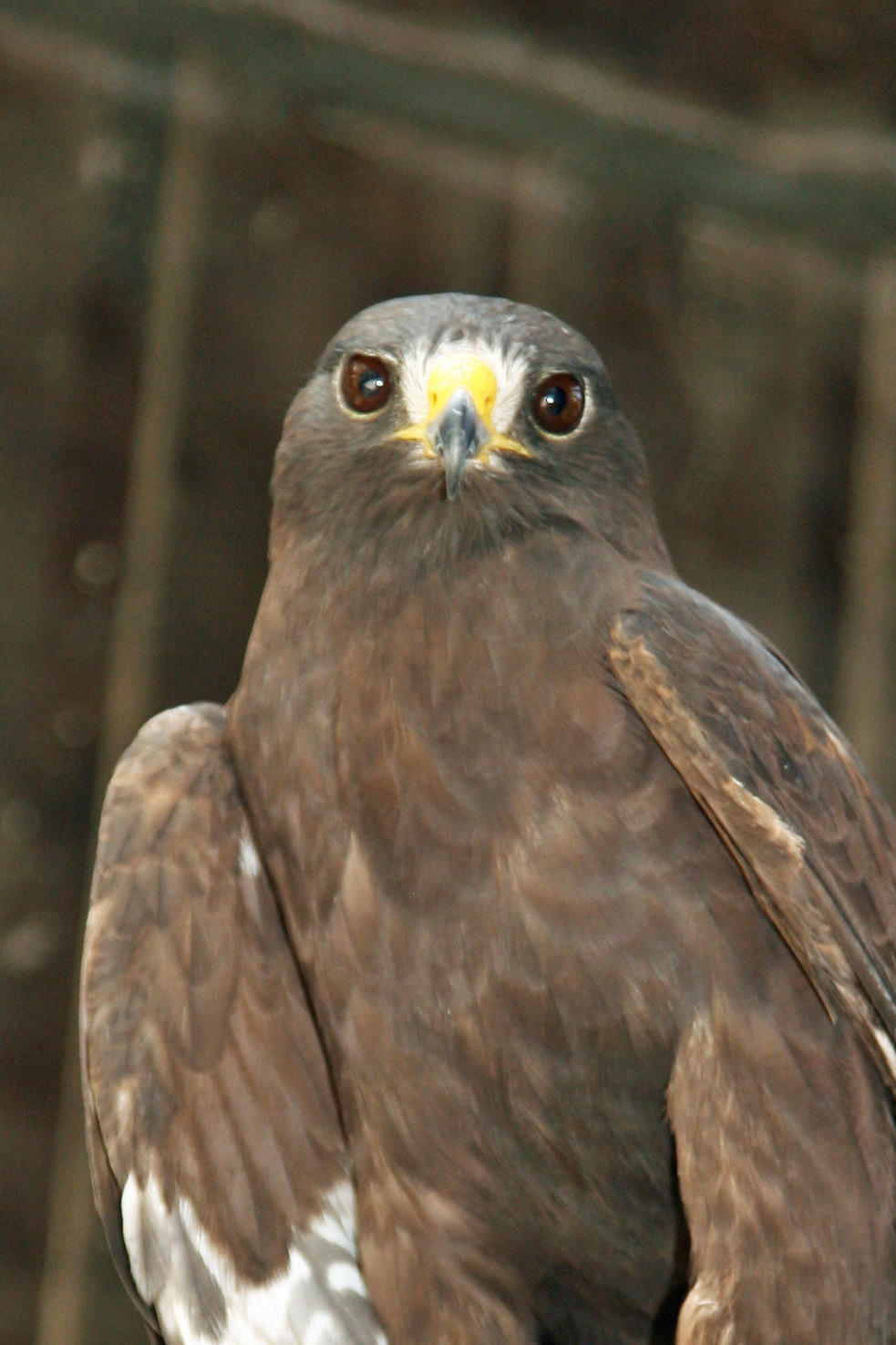 Photo of Short Tailed Hawk