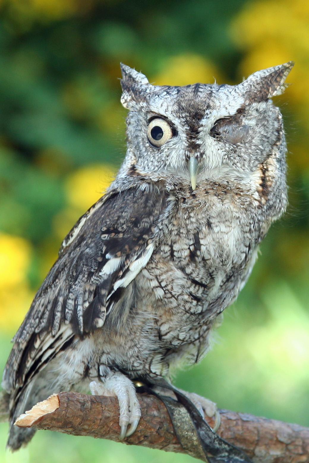 Photo of Eastern Screech Owl