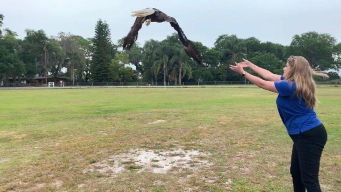 Photo of Bald Eagle being released