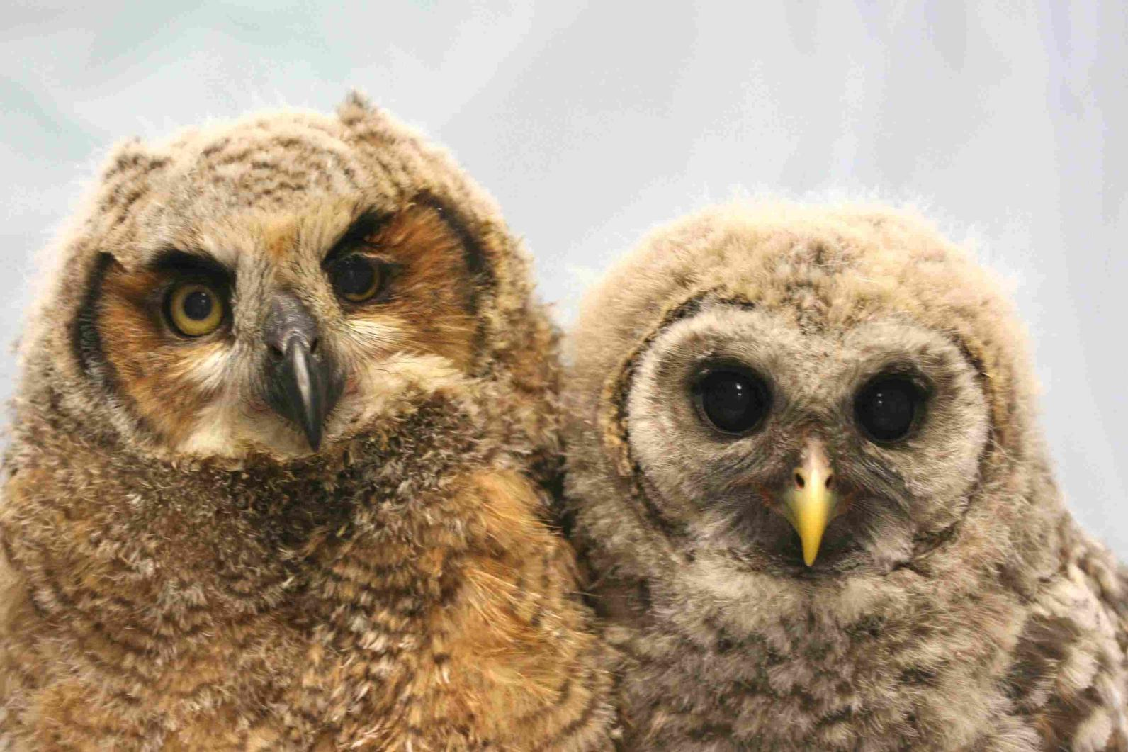 Photo of bay Great Horned owl and baby Barred Owl