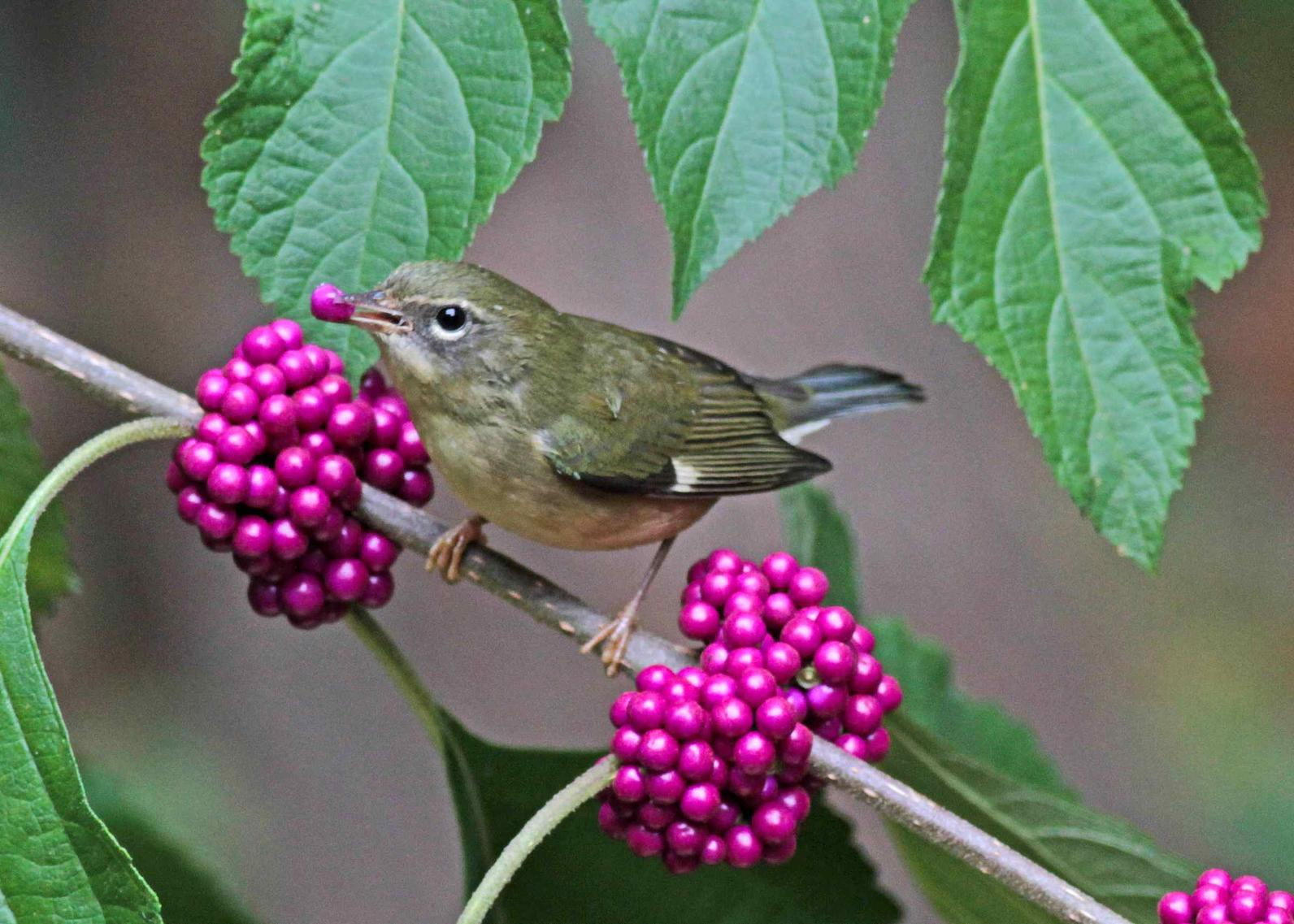 Photo of Beautyberry (Callicarpa americana) and Black Throadted Blue Warbler
