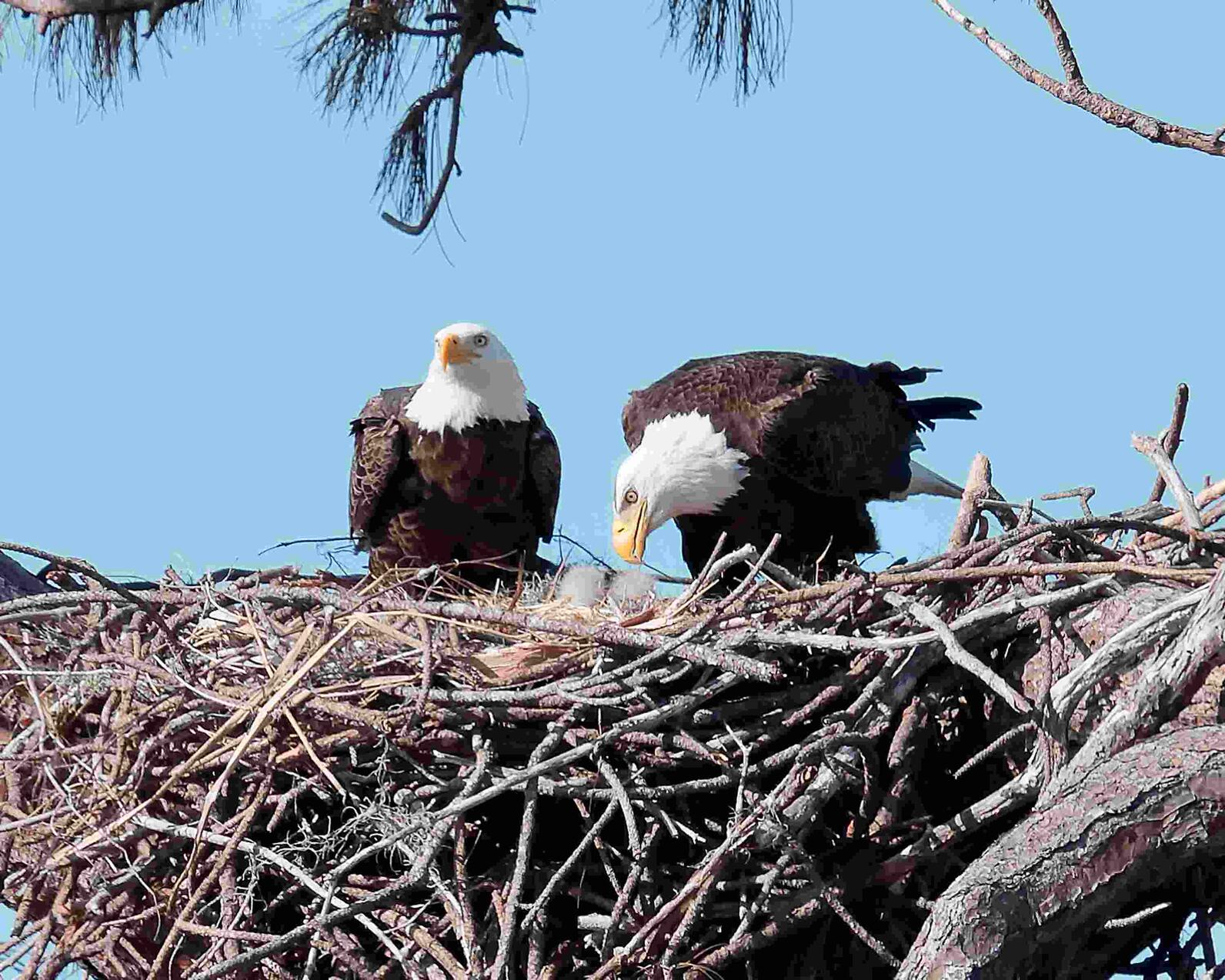 Photo of Bald Eagles feeding eaglets in nest