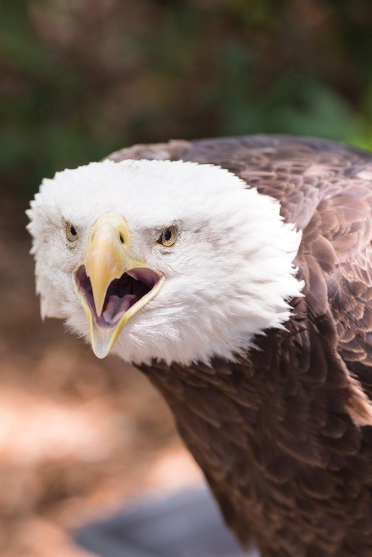 Photo of Bald Eagle