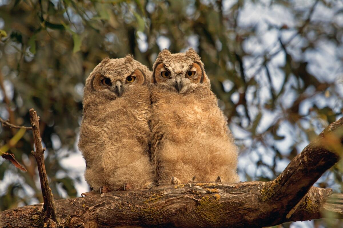 Photo of Great Horned owlets