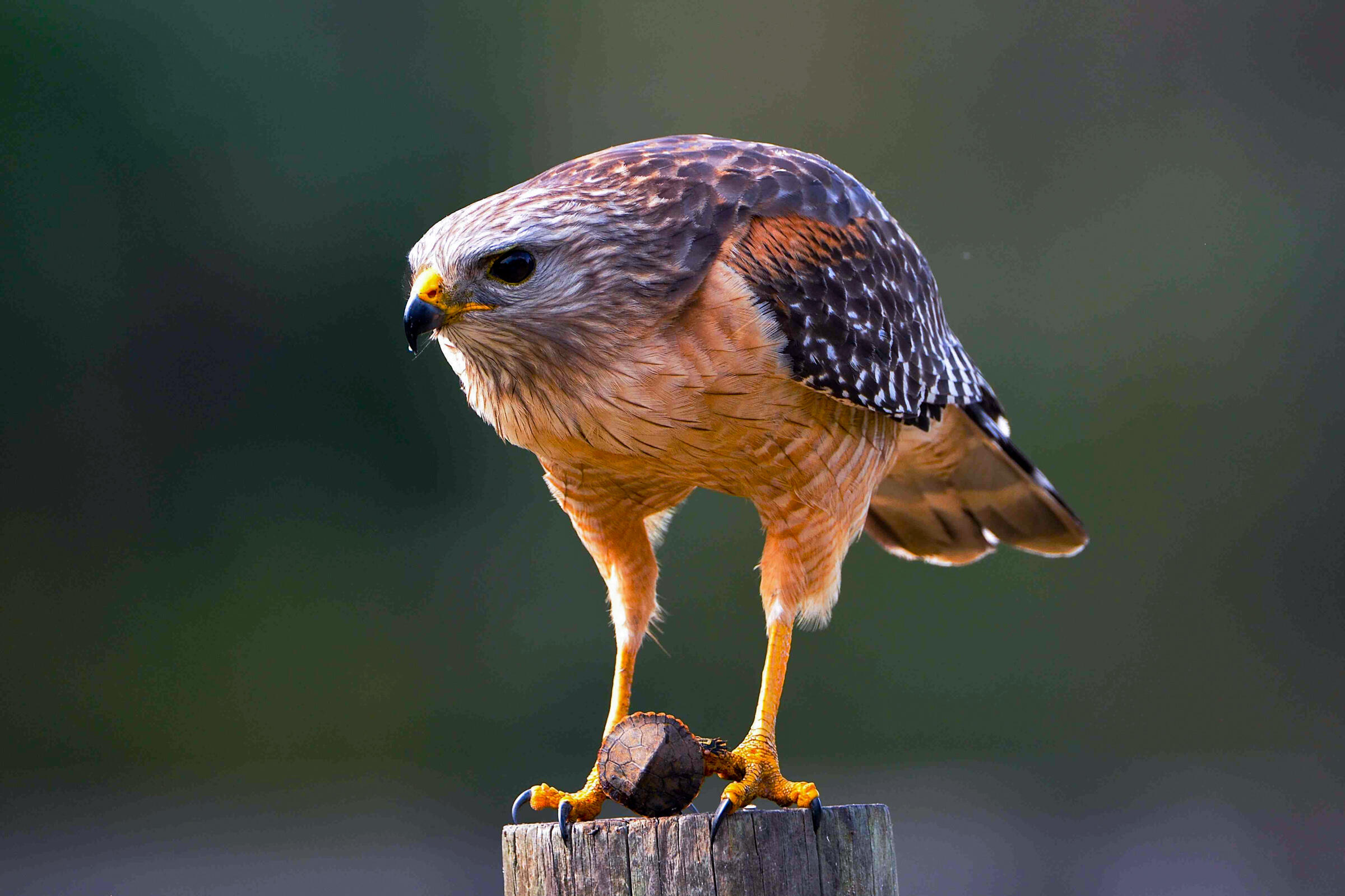 Photo of Red shouldered-Hawk