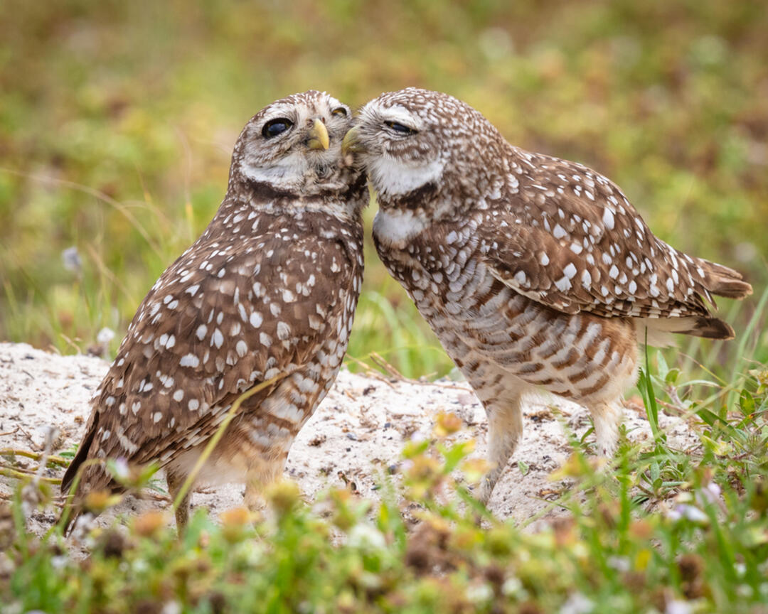 photo of Burrowing Owls